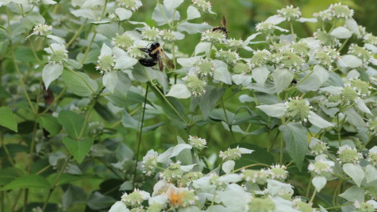 native plants and pollinators. Bees on mountain mint.