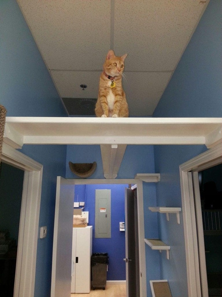 Davis, a rescued cat who resides at Paws Whiskers & Claws, enjoys the ample vertical space in the office.