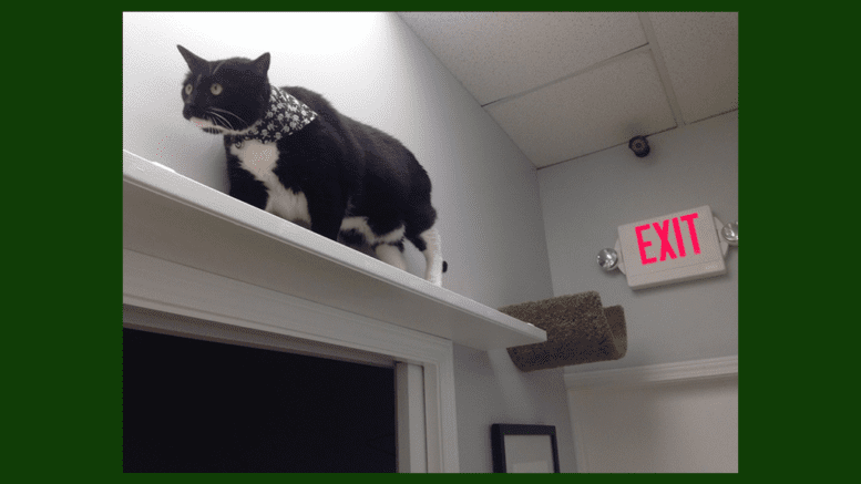 Parker the cat enjoys the vertical space at Paws Whiskers & Claws when he isn't assisting at the front desk. (photo courtesy of Ingrid Johnson)